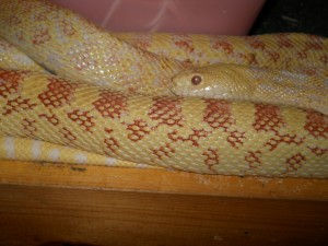 Romeo - Gopher Snake