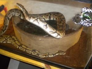 Bo & Boo Ball Pythons